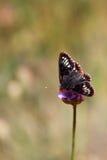 在一朵桃红色花的黑和橙色蝴蝶 库存图片