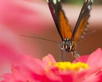 在一朵桃红色花的黑脉金斑蝶 免版税库存图片