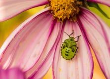 在一朵桃红色花的绿色恶臭臭虫 库存照片