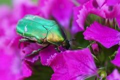在一朵桃红色花的绿色甲虫 免版税库存图片