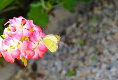 在一朵桃红色花的黄色蝴蝶 库存图片