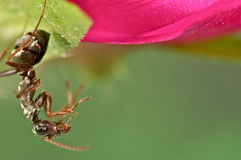 在一朵桃红色花的黑蚂蚁 免版税库存照片