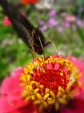 在一朵桃红色花的蝴蝶 库存图片