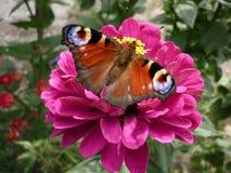 在一朵桃红色花的蝴蝶 免版税图库摄影