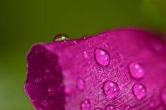 在一朵桃红色花的水滴 免版税库存照片