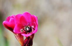 在一朵桃红色花里面的蜂 图库摄影