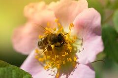 在一朵桃红色花(野玫瑰果)的蜂 宏指令蜂蜜蜂(Apis)  免版税库存照片