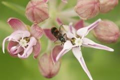 在一朵桃红色野花的甲虫 库存照片