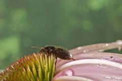 在一朵桃红色野花的甲虫 免版税库存图片