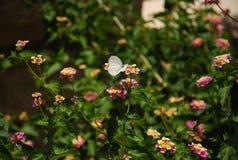 在一朵桃红色马樱丹属花的白色蝴蝶 库存图片