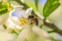 在一朵橙树花的蜂 图库摄影