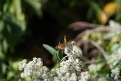 在一朵死的花的一只孤立蝴蝶 库存图片