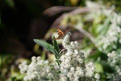 在一朵死的花的一只孤立蝴蝶 免版税库存图片