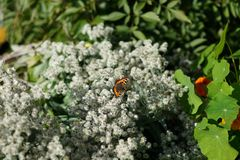 在一朵死的花的一只孤立蝴蝶 免版税库存照片