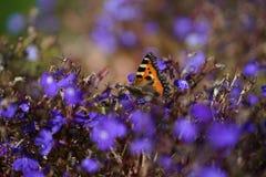 在一朵死的花的一只孤立蝴蝶 库存照片