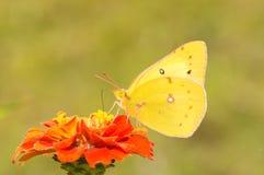 在一朵深橙色百日菊属花的美丽的橙色白蝴蝶 免版税库存图片