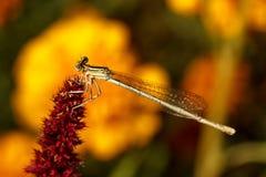 在一朵深红花的蜻蜓 库存照片