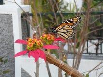 在一朵热带花的棕色和黑蝴蝶位子 免版税库存照片
