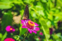 在一朵热带花的蝴蝶在蝴蝶公园 库存图片