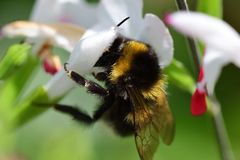 在一朵热的嘴唇salvia花的蜂 免版税库存图片