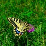 在一朵玫瑰色花的黄色Swallowtail蝴蝶在绿草背景 免版税图库摄影