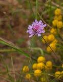 在一朵甜飞蓬花的一只长角牛甲虫 免版税库存照片