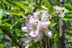 在一朵白色和桃红色镇静苹果花的蜂 免版税库存照片