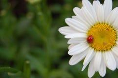 在一朵白色和黄色花的瓢虫 免版税图库摄影