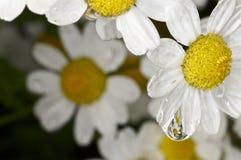 在一朵白色和黄色花的水滴 免版税图库摄影