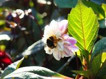 在一朵白色大丽花花的一只毛茸的土蜂 库存照片