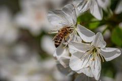 在一朵白色樱花的蜂收集花粉和会集ne的 免版税库存照片