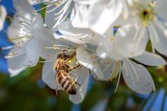 在一朵白色樱花的蜂收集花粉和会集ne的 免版税库存图片