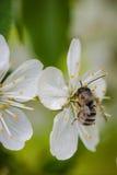 在一朵白色樱花的蜂收集花粉和会集ne的 库存照片