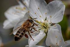 在一朵白色樱花的蜂收集花粉和会集ne的 免版税图库摄影