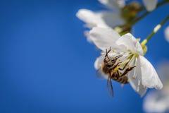在一朵白色樱花的蜂收集花粉和会集ne的 图库摄影
