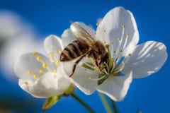 在一朵白色樱花的蜂收集花粉和会集ne的 库存图片