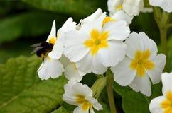 在一朵白色番红花的土蜂 关闭 免版税图库摄影