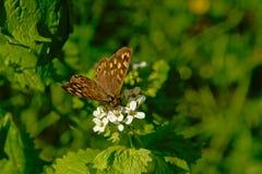 在一朵白色野花的有斑点的木蝴蝶- Pararge aegeria 库存照片