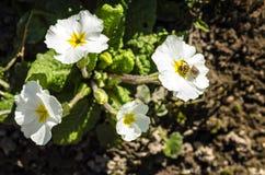 在一朵白花报春花的蜂 库存图片