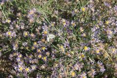 在一朵秋季花的美丽的纹白蝶 免版税库存照片