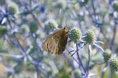 在一朵简单的花的一只灰色蝴蝶 免版税库存图片