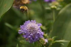 在一朵紫色花的一只土蜂 免版税图库摄影