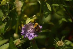 在一朵紫色花的一只土蜂 免版税库存照片
