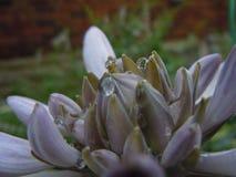 在一朵紫色花的宏观水滴 免版税库存图片