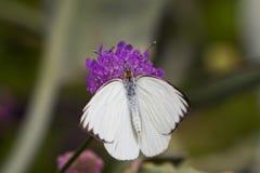 在一朵紫色花的白色蝴蝶 免版税库存照片