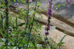 在一朵紫色花的白色蝴蝶 免版税库存图片