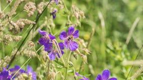 在一朵紫色花的蜂在绿色背景 免版税库存图片