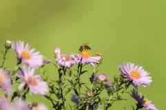 在一朵紫色花的蜂在绿色背景 免版税图库摄影