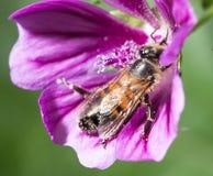 在一朵紫色花的蜂 宏指令 库存照片