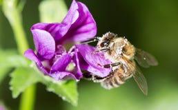 在一朵紫色花的蜂 宏指令 免版税库存图片